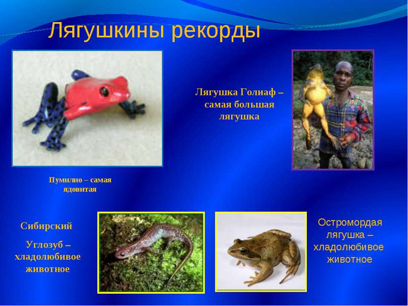 Лягушка Голиаф – самая большая лягушка Пумилио – самая ядовитая Сибирский Угл...
