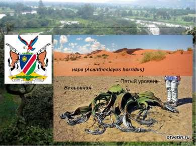 Примечательное растение пустыни Намиб — тумбоа, или Вельвичия (Welwitschia mi...