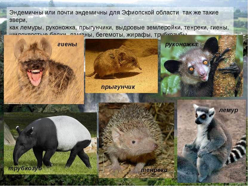 Эндемичны или почти эндемичны для Эфиопской области так же такие звери, как л...
