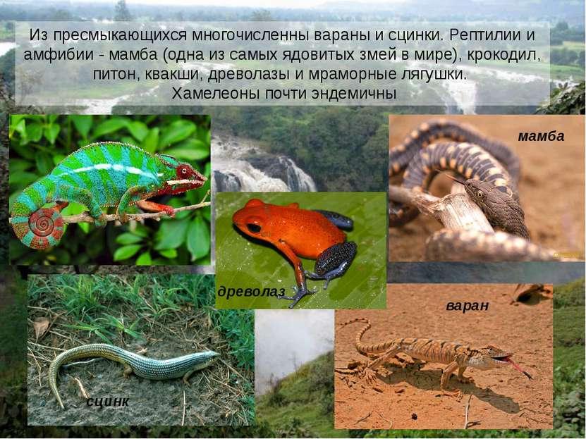 Из пресмыкающихся многочисленны вараны и сцинки. Рептилии и амфибии - мамба (...