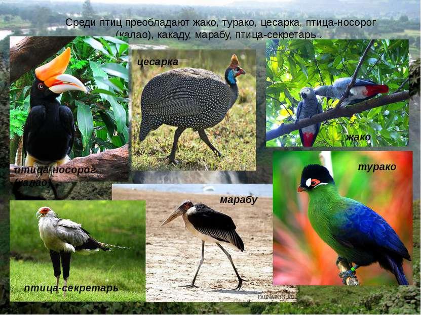 Среди птиц преобладают жако, турако, цесарка, птица-носорог (калао), какаду, ...