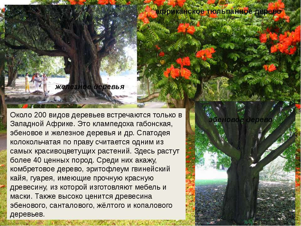 Около 200 видов деревьев встречаются только в Западной Африке. Это клампедоха...