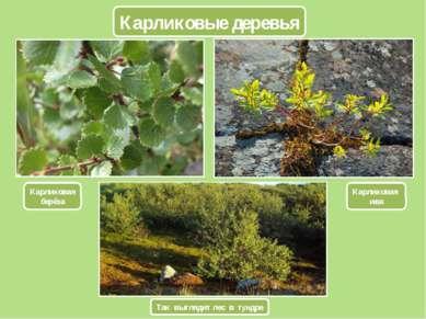 Карликовые деревья Карликовая берёза Карликовая ива Так выглядит лес в тундре