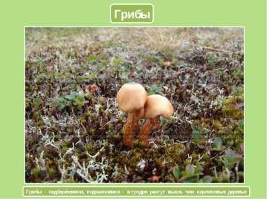 Грибы Грибы - подберёзовики, подосиновики - в тундре растут выше, чем карлико...
