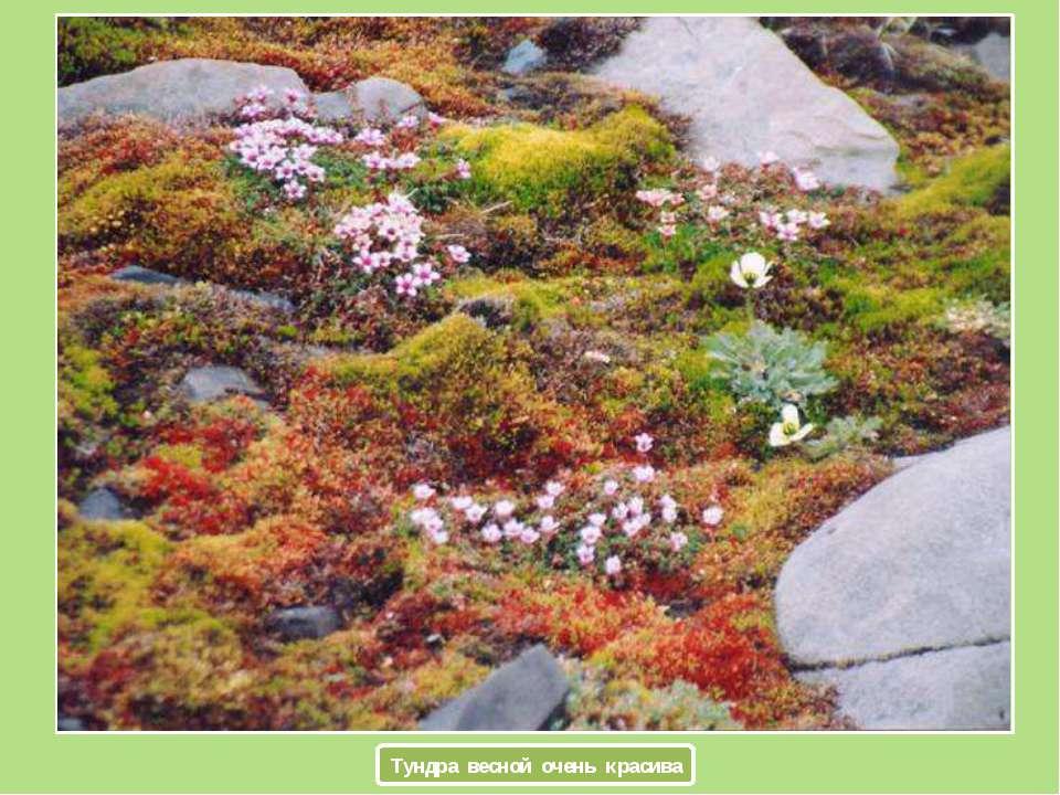 Тундра весной очень красива