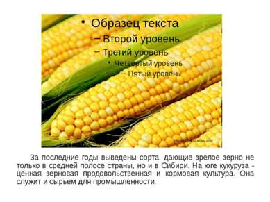 За последние годы выведены сорта, дающие зрелое зерно не только в средней пол...