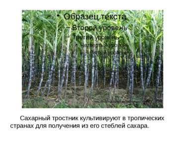 Сахарный тростник культивируют в тропических странах для получения из его сте...