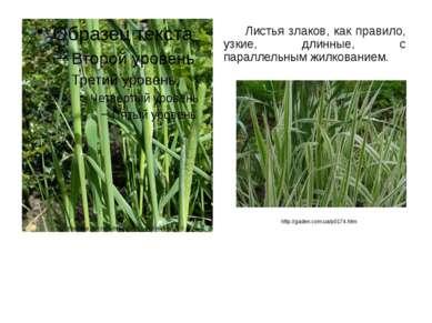 Листья злаков, как правило, узкие, длинные, с параллельным жилкованием. http:...