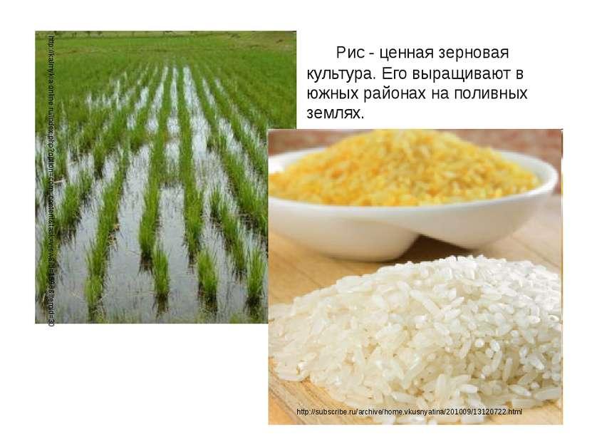 Рис - ценная зерновая культура. Его выращивают в южных районах на поливных зе...
