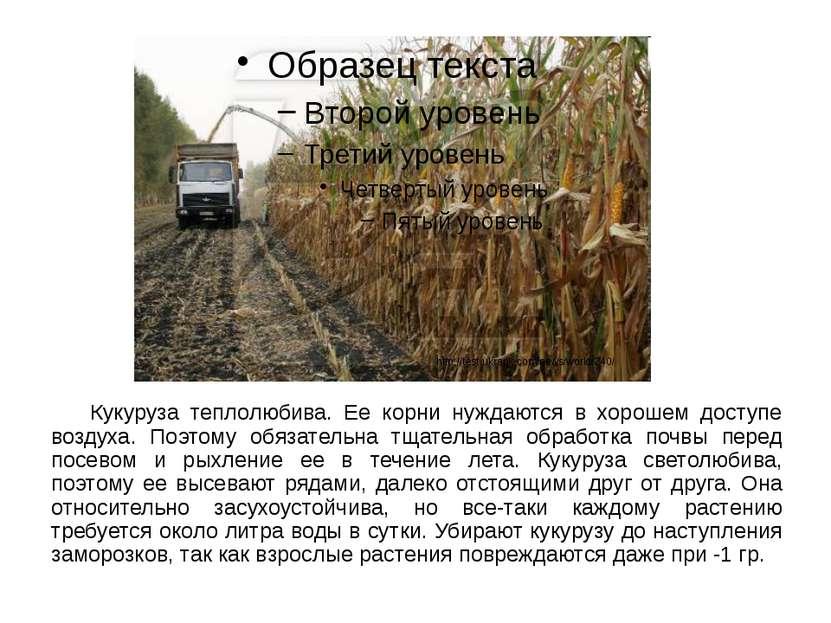 Кукуруза теплолюбива. Ее корни нуждаются в хорошем доступе воздуха. Поэтому о...