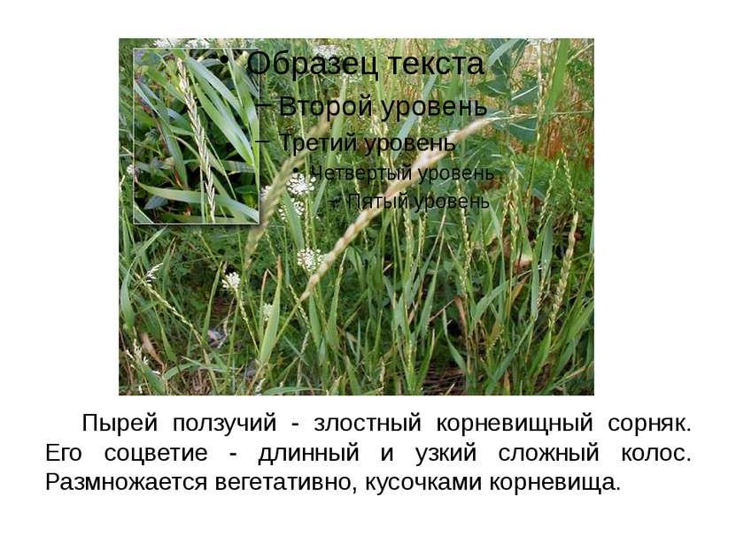 Пырей ползучий - злостный корневищный сорняк. Его соцветие - длинный и узкий ...