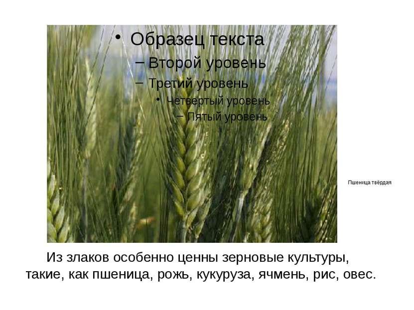 Из злаков особенно ценны зерновые культуры, такие, как пшеница, рожь, кукуруз...