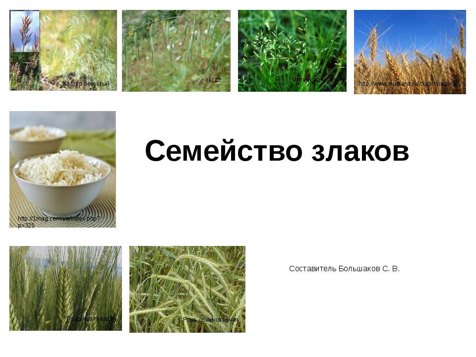 Семейство злаков Составитель Большаков С. В. Костёр безостый овсюг Мятлик одн...
