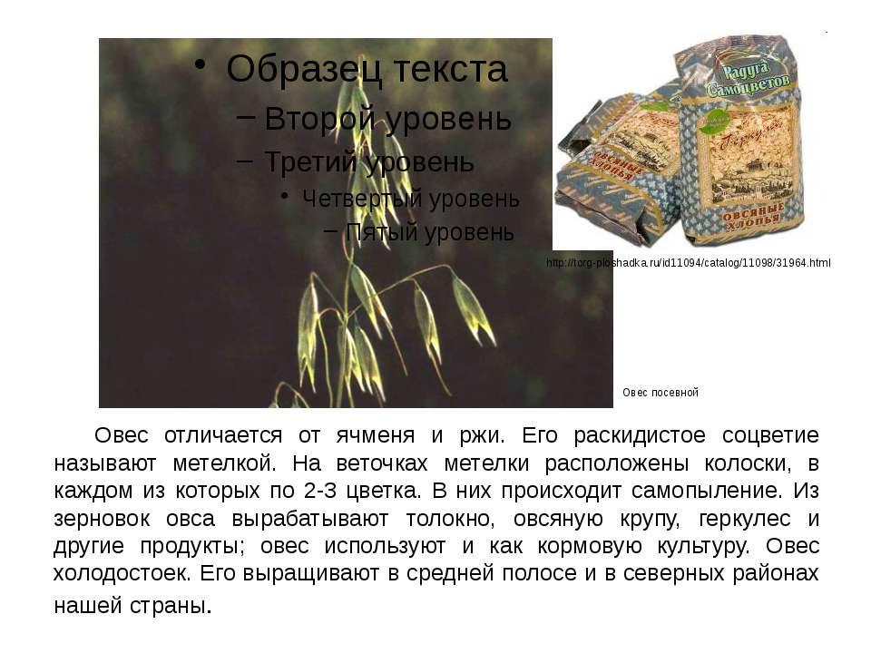 Овес отличается от ячменя и ржи. Его раскидистое соцветие называют метелкой. ...