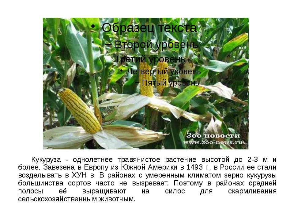 Кукуруза - однолетнее травянистое растение высотой до 2-3 м и более. Завезена...