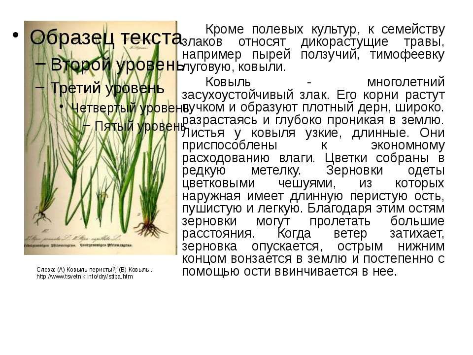 Кроме полевых культур, к семейству злаков относят дикорастущие травы, наприме...