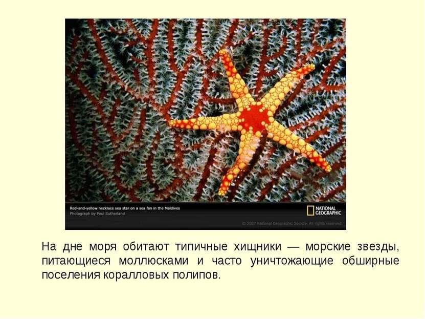 На дне моря обитают типичные хищники — морские звезды, питающиеся моллюсками ...