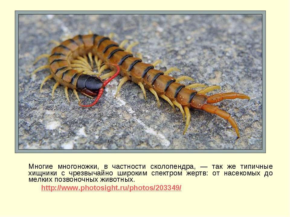 Многие многоножки, в частности сколопендра, — так же типичные хищники с чрезв...