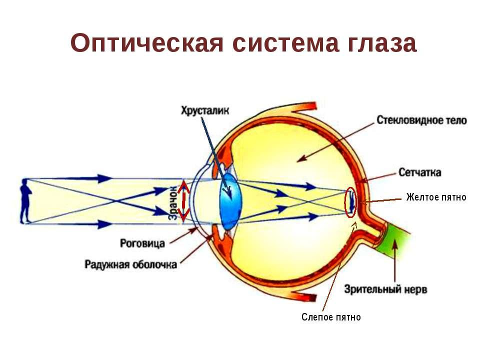 Оптическая система глаза Желтое пятно Слепое пятно На слайде «активна» стрелк...