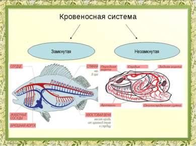 Кровеносная система Дождевой червь Моллюски гемолимфа Рыбы Насекомые Земновод...