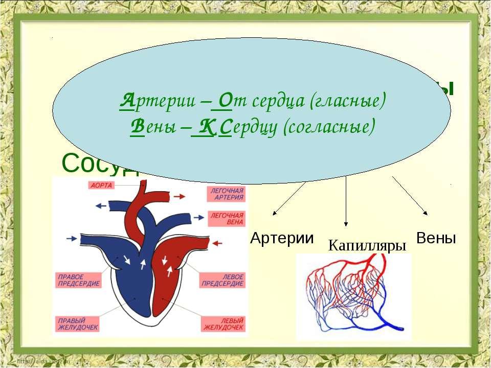 Органы кровеносной системы Сердце Сосуды Предсердия Желудочки Артерии Вены Ка...