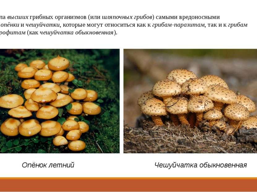 А из числавысшихгрибных организмов (илишляпочных грибов) самыми вредоносны...