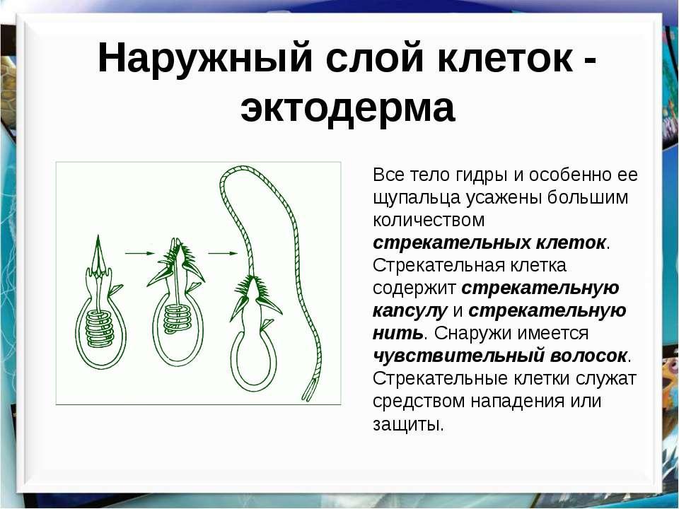 Наружный слой клеток - эктодерма Все тело гидры и особенно ее щупальца усажен...
