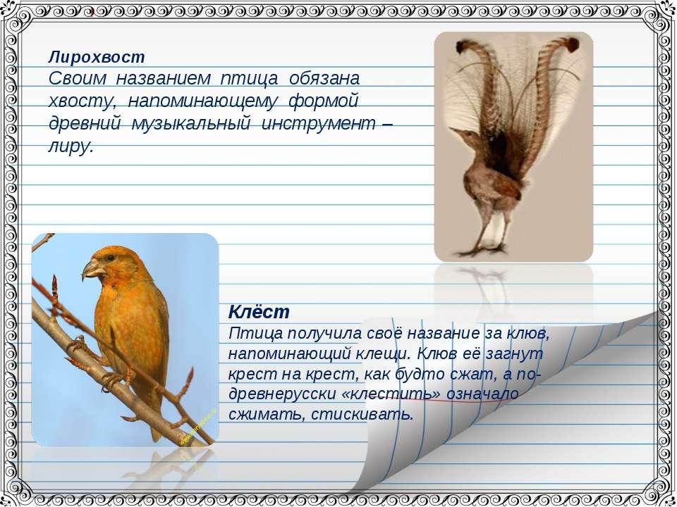 Клёст Птица получила своё название за клюв, напоминающий клещи. Клюв её загну...