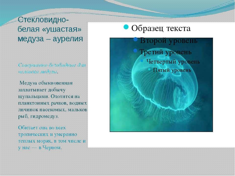Стекловидно-белая «ушастая» медуза – аурелия Совершенно безобидные для челове...