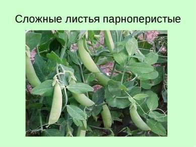 Сложные листья парноперистые