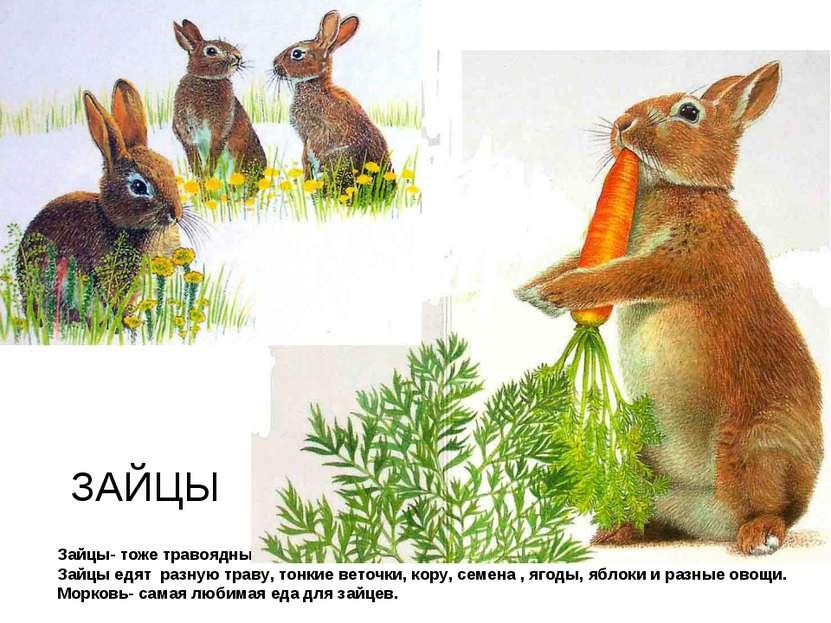 Зайцы- тоже травоядные животные. Зайцы едят разную траву, тонкие веточки, кор...