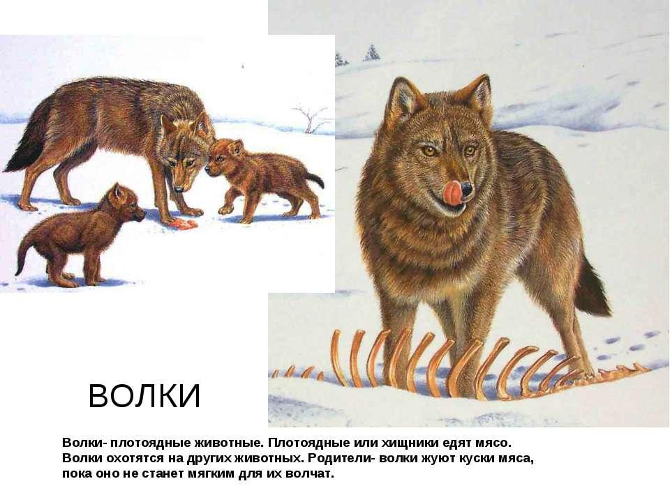 Волки- плотоядные животные. Плотоядные или хищники едят мясо. Волки охотятся ...