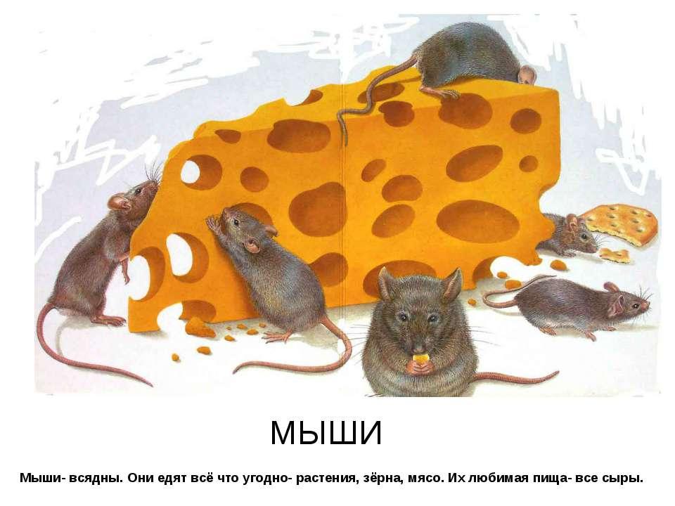 Мыши- всядны. Они едят всё что угодно- растения, зёрна, мясо. Их любимая пища...