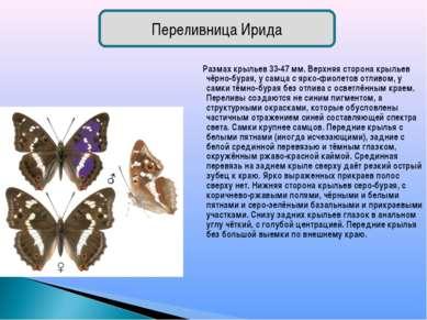 Размах крыльев 33-47 мм. Верхняя сторона крыльев чёрно-бурая, у самца с ярко-...