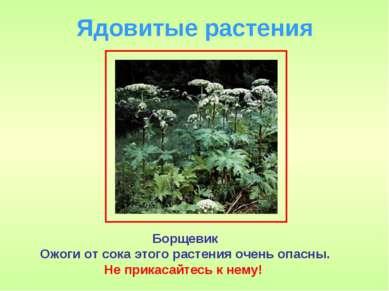 Ядовитые растения Борщевик Ожоги от сока этого растения очень опасны. Не прик...