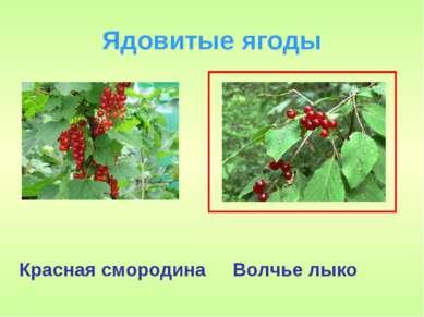 Ядовитые ягоды Волчье лыко Красная смородина