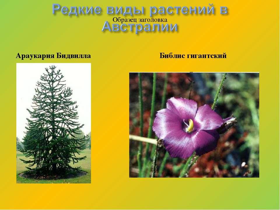 Араукария Бидвилла Библис гигантский