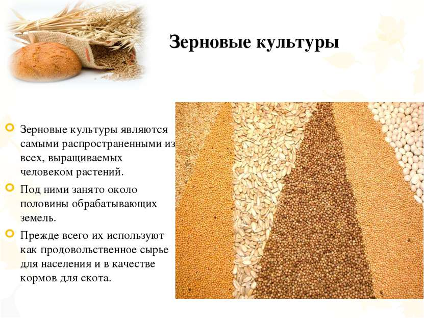 Зерновые культуры Зерновые культуры являются самыми распространенными из всех...