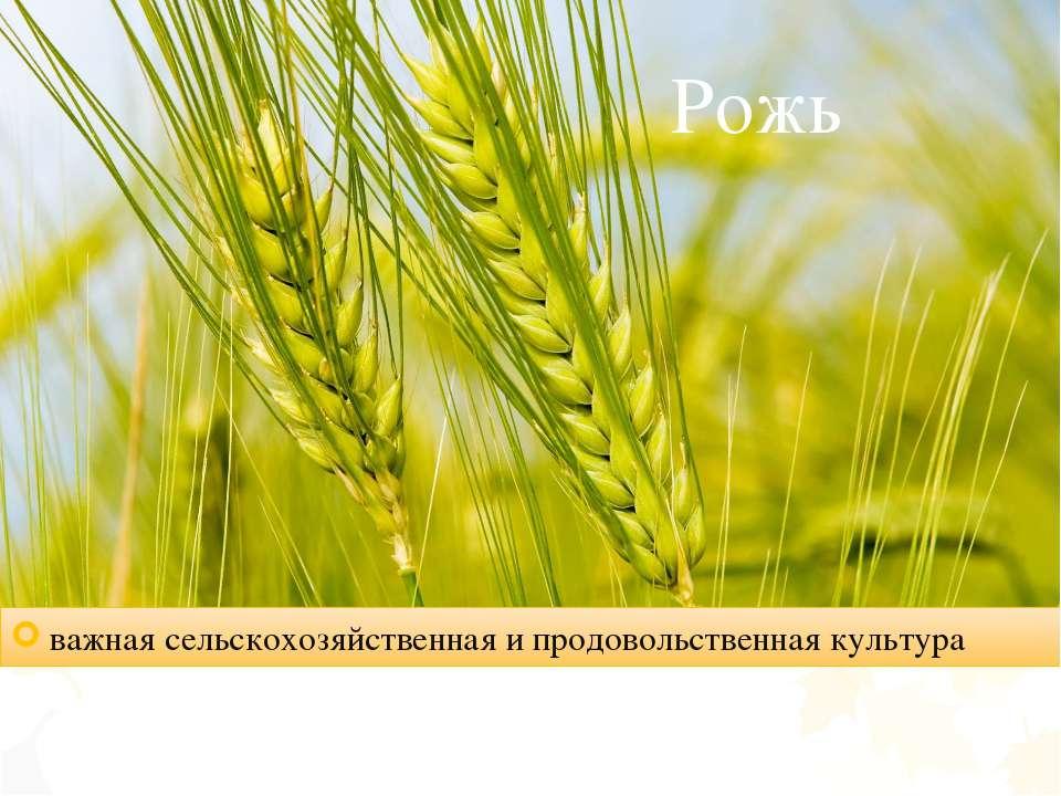 Рожь важная сельскохозяйственная и продовольственная культура