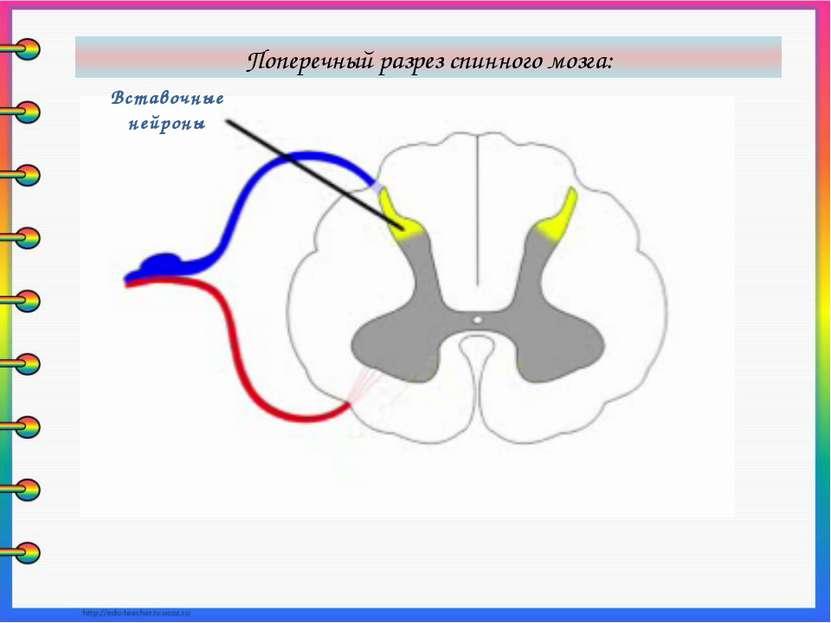 Вставочные нейроны Поперечный разрез спинного мозга: