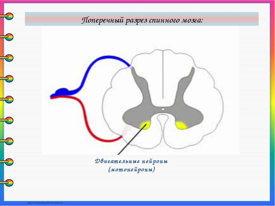 Двигательные нейроны (мотонейроны) Поперечный разрез спинного мозга: В передн...