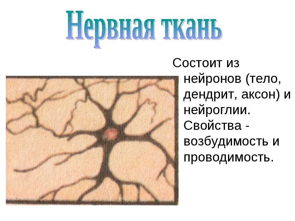 Состоит из нейронов (тело, дендрит, аксон) и нейроглии. Свойства - возбудимос...