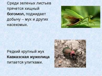 Среди зеленых листьев прячется хищный богомол, поджидает добычу – мух и други...