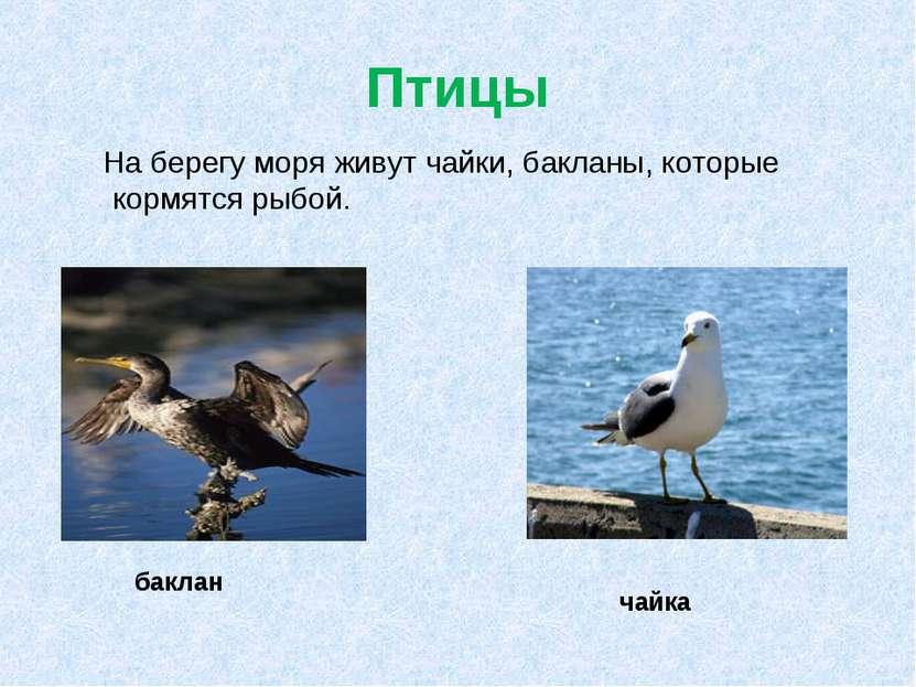 Птицы На берегу моря живут чайки, бакланы, которые кормятся рыбой. баклан чайка