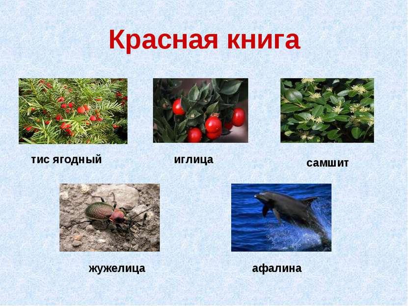 Красная книга тис ягодный иглица жужелица самшит афалина