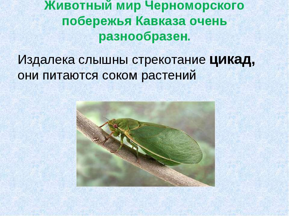 Животный мир Черноморского побережья Кавказа очень разнообразен. Издалека слы...