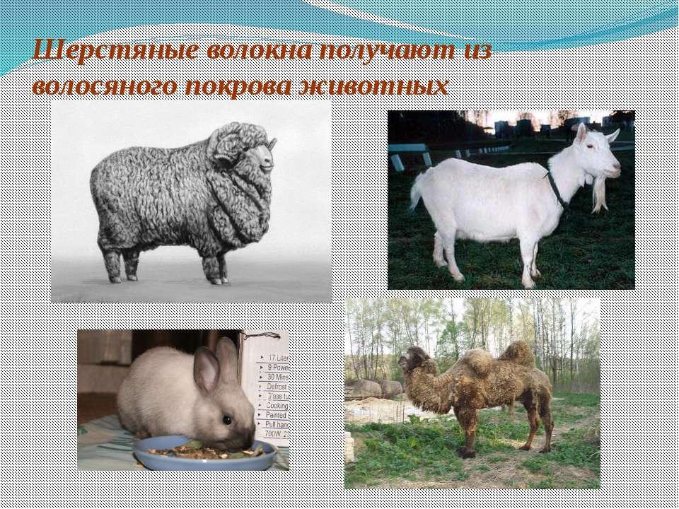 Шерстяные волокна получают из волосяного покрова животных