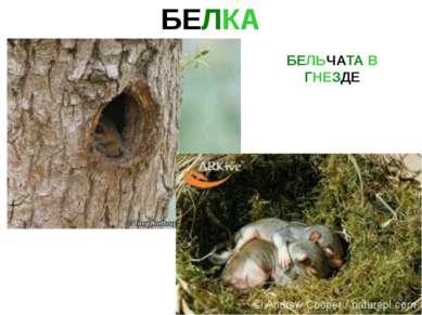 БЕЛКА БЕЛЬЧАТА В ГНЕЗДЕ Белка бельчата в гнезде