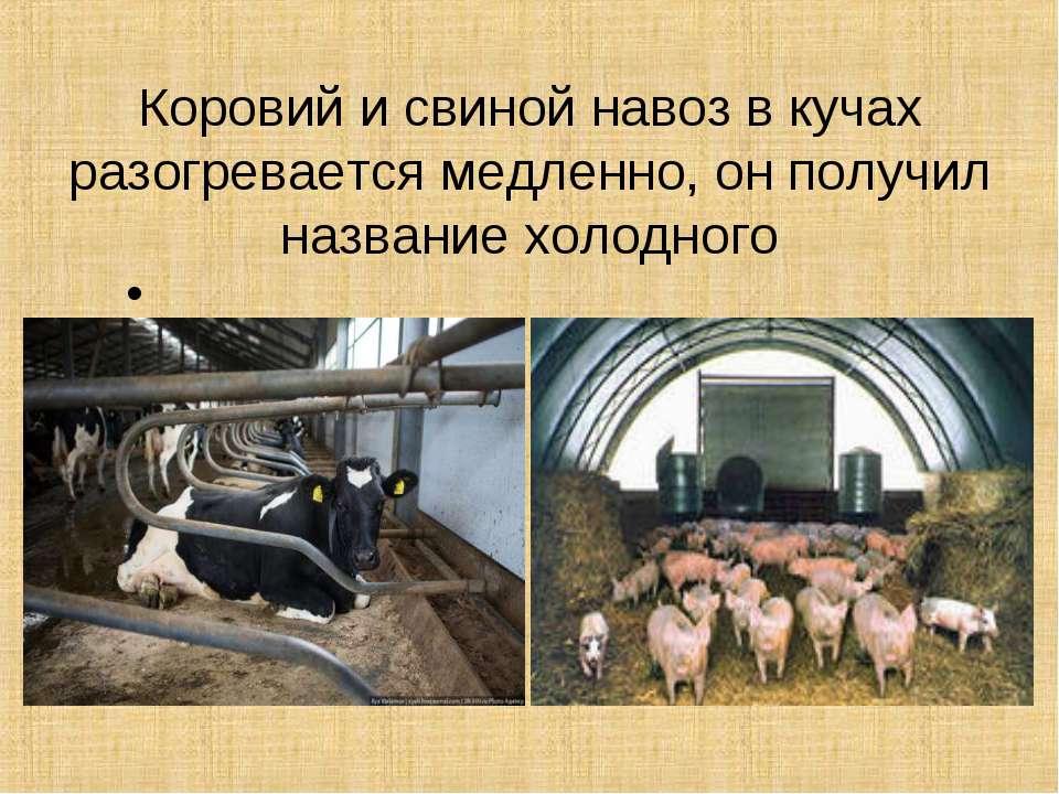 Коровий и свиной навоз в кучах разогревается медленно, он получил название хо...
