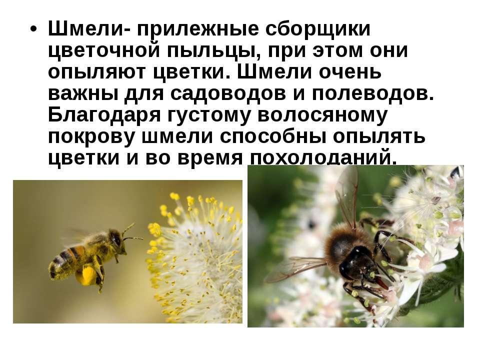 Шмели- прилежные сборщики цветочной пыльцы, при этом они опыляют цветки. Шмел...